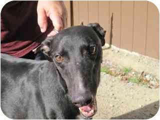 """Greyhound Dog for adoption in Gerrardstown, West Virginia - Diego """"Tax Break"""""""