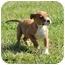 Photo 4 - Australian Shepherd Mix Puppy for adoption in Hagerstown, Maryland - Greta