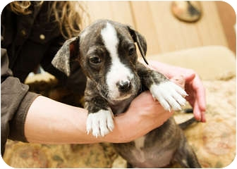 Boxer/Terrier (Unknown Type, Medium) Mix Puppy for adoption in Howell, Michigan - LaKota
