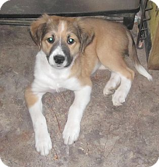 Australian Shepherd/Boxer Mix Puppy for adoption in Copperas Cove, Texas - Kayla