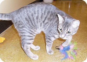 Domestic Shorthair Cat for adoption in West Palm Beach, Florida - PUFF