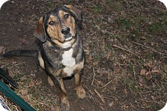 Shepherd (Unknown Type) Mix Dog for adoption in Londonderry, New Hampshire - Cliff