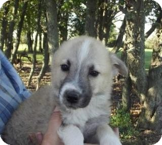 Husky/Shepherd (Unknown Type) Mix Puppy for adoption in Edon, Ohio - Washy...ADOPTED
