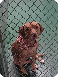 Vizsla/Labrador Retriever Mix Dog for adoption in Peachtree City, Georgia - Annie