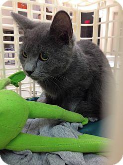Russian Blue Kitten for adoption in Dallas, Texas - Slate