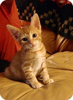 American Shorthair Kitten for adoption in Tampa, Florida - Pumpkin