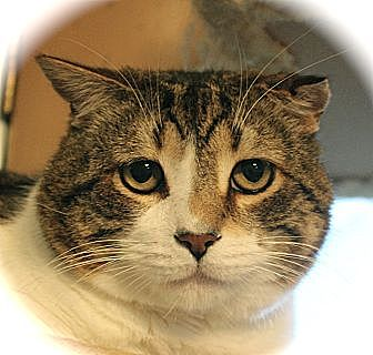 Domestic Shorthair Cat for adoption in Middletown, Connecticut - Rex Ranger