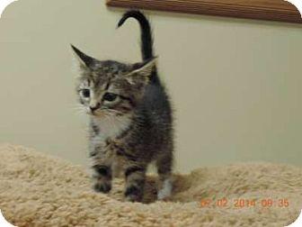Domestic Shorthair Kitten for adoption in Newberry, South Carolina - Kira