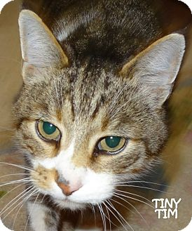 Domestic Shorthair Cat for adoption in Lapeer, Michigan - TINY TIM--CUTE! AVAIL 12/6