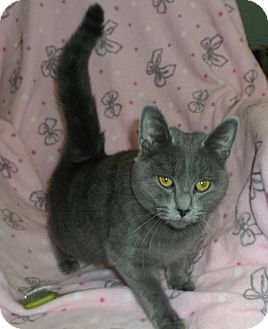 Domestic Shorthair Cat for adoption in Morristown, Tennessee - Marley