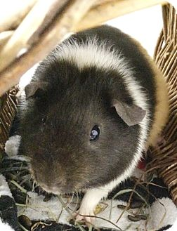 Guinea Pig for adoption in Edinburg, Pennsylvania - Emmie