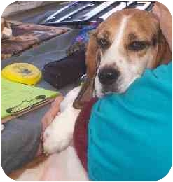 Beagle Dog for adoption in Portland, Ontario - Gus