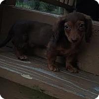 Adopt A Pet :: Mowgli - Algonquin, IL