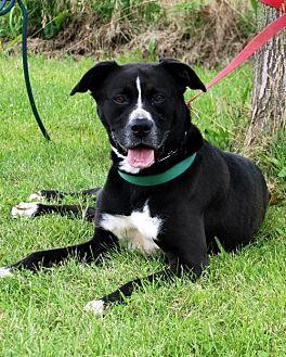 Boxer/German Shepherd Dog Mix Dog for adoption in Lacon, Illinois - Molly II