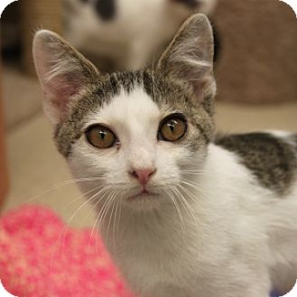 Domestic Shorthair Kitten for adoption in Naperville, Illinois - Bambi
