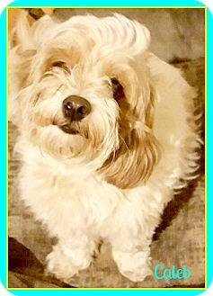 Cavalier King Charles Spaniel/Bichon Frise Mix Dog for adoption in Seattle, Washington - Caleb