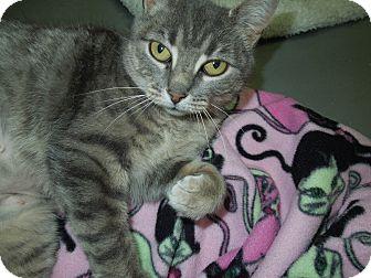 Domestic Shorthair Cat for adoption in Medina, Ohio - Star