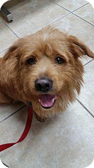Welsh Corgi/Border Terrier Mix Dog for adoption in Palmetto Bay, Florida - Pumba
