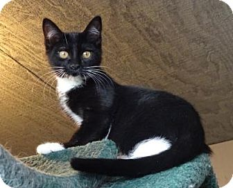 Domestic Shorthair Cat for adoption in Lathrop, California - Masha