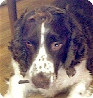 English Springer Spaniel Dog for adoption in Minneapolis, Minnesota - Goliath