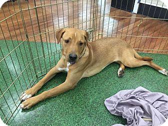 Labrador Retriever Mix Dog for adoption in Blountstown, Florida - Cobie