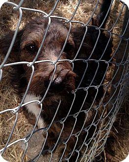 Airedale Terrier/Schnauzer (Standard) Mix Dog for adoption in Providence, Rhode Island - Finn