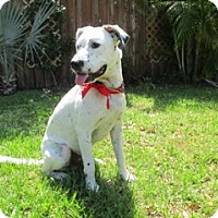 Adopt A Pet :: Ziggy - Tampa, FL