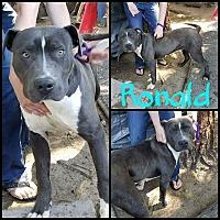 Adopt A Pet :: Ronald - Lancaster, CA