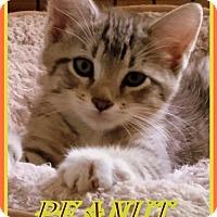 Adopt A Pet :: Peanut - Berkeley Springs, WV