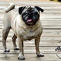 Adopt A Pet :: Mr. Cho - Grapevine, TX