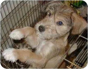 Schnauzer (Standard)/Terrier (Unknown Type, Medium) Mix Dog for adoption in Cincinnati, Ohio - Swaizie