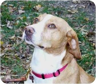 Beagle Mix Dog for adoption in Northville, Michigan - Tucker - Pending