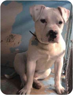 Staffordshire Bull Terrier/American Staffordshire Terrier Mix Dog for adoption in Freeport, New York - Bob and Marley