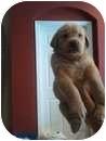 Labrador Retriever Mix Puppy for adoption in Pembroke pInes, Florida - Lab puppies