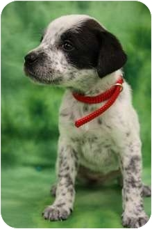 Australian Cattle Dog/Boxer Mix Puppy for adoption in Broomfield, Colorado - Rachel