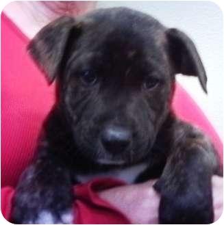 Labrador Retriever/Shepherd (Unknown Type) Mix Puppy for adoption in Nuevo, California - Tabby
