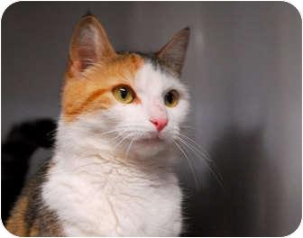 Domestic Shorthair Cat for adoption in Lunenburg, Massachusetts - Carrie