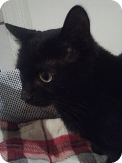 Domestic Shorthair Cat for adoption in Columbia, Maryland - Maxine