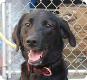 Labrador Retriever Mix Dog for adoption in Brooklyn, New York - Susan