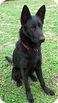 German Shepherd Dog Dog for adoption in Nashville, Tennessee - Romeo