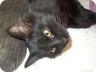 Domestic Mediumhair Cat for adoption in Medina, Ohio - Janet