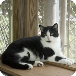 Domestic Shorthair Cat for adoption in New Martinsville, West Virginia - Leo
