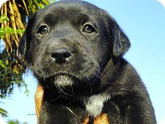 Labrador Retriever Mix Puppy for adoption in Santa Ana, California - Carbon