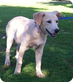 Labrador Retriever Mix Dog for adoption in Corona, California - LINDSEY