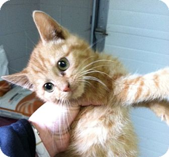 Domestic Shorthair Kitten for adoption in Florence, Indiana - Paris