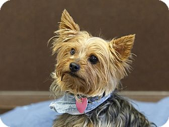 Yorkie, Yorkshire Terrier Mix Dog for adoption in Ile-Perrot, Quebec - Teddy