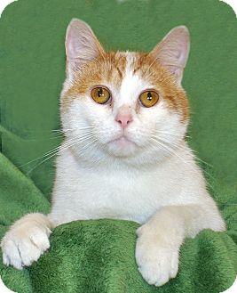 Domestic Shorthair Cat for adoption in Renfrew, Pennsylvania - Craig