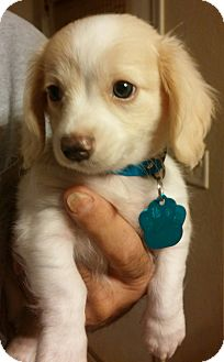 Dachshund/Chihuahua Mix Puppy for adoption in Golden Valley, Arizona - Parker