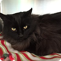 Domestic Longhair Cat for adoption in Topeka, Kansas - Tomi