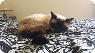 Siamese Cat for adoption in Lawrenceville, Georgia - Guyton
